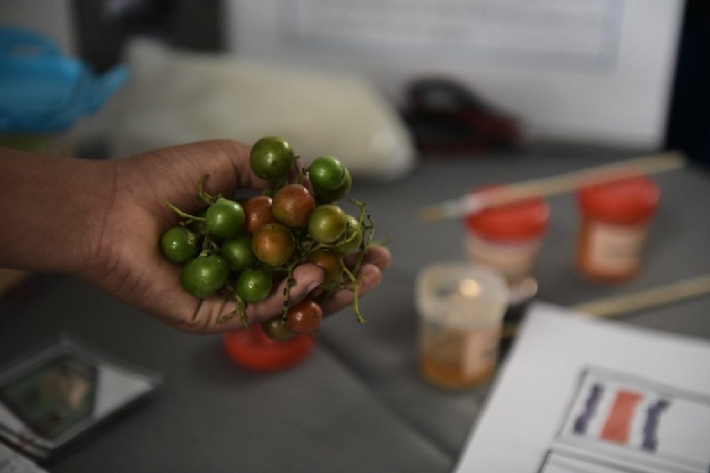 """(Goma Natural a partir de la fruta poco conocida como """"Butsili"""" Foto: Katya Alvarado)"""