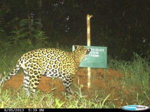 Una de las cámaras trampa en la propiedad de Parajeles captó la imagen de este felino maravilloso